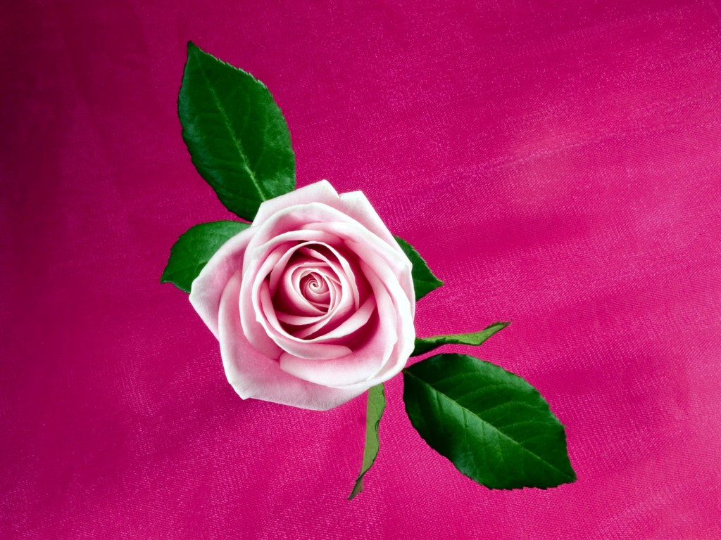 Pink Rose Wallpaper - Pink Rose Wallpaper
