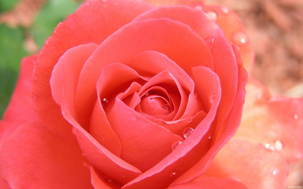 Tropicana Pink Rose - Tropicana Pink Rose
