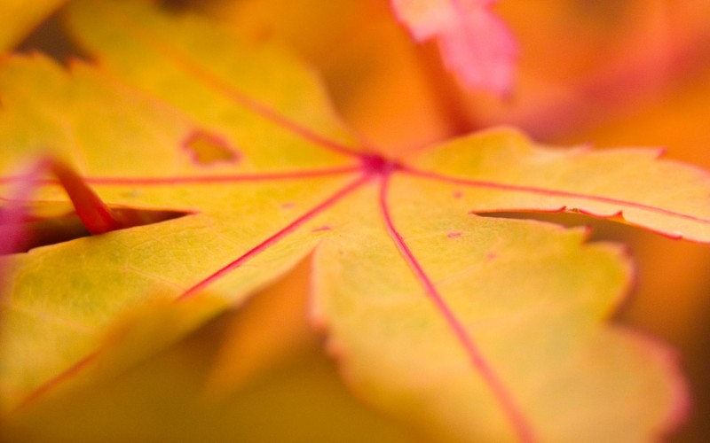 Yellow Leaf Wallpaper - Yellow Leaf Wallpaper