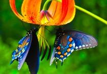 King Priamos Butterfly - King Priamos Butterfly