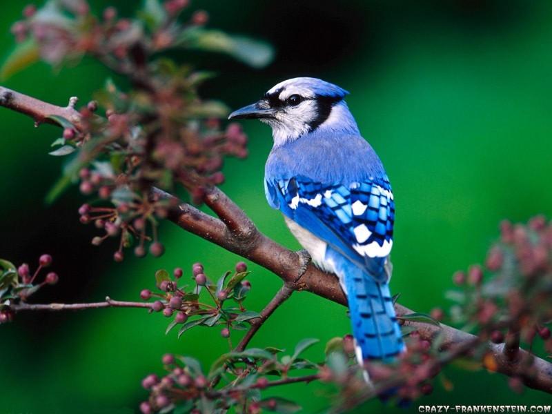 Beautiful Blue Birds - Beautiful Blue Birds