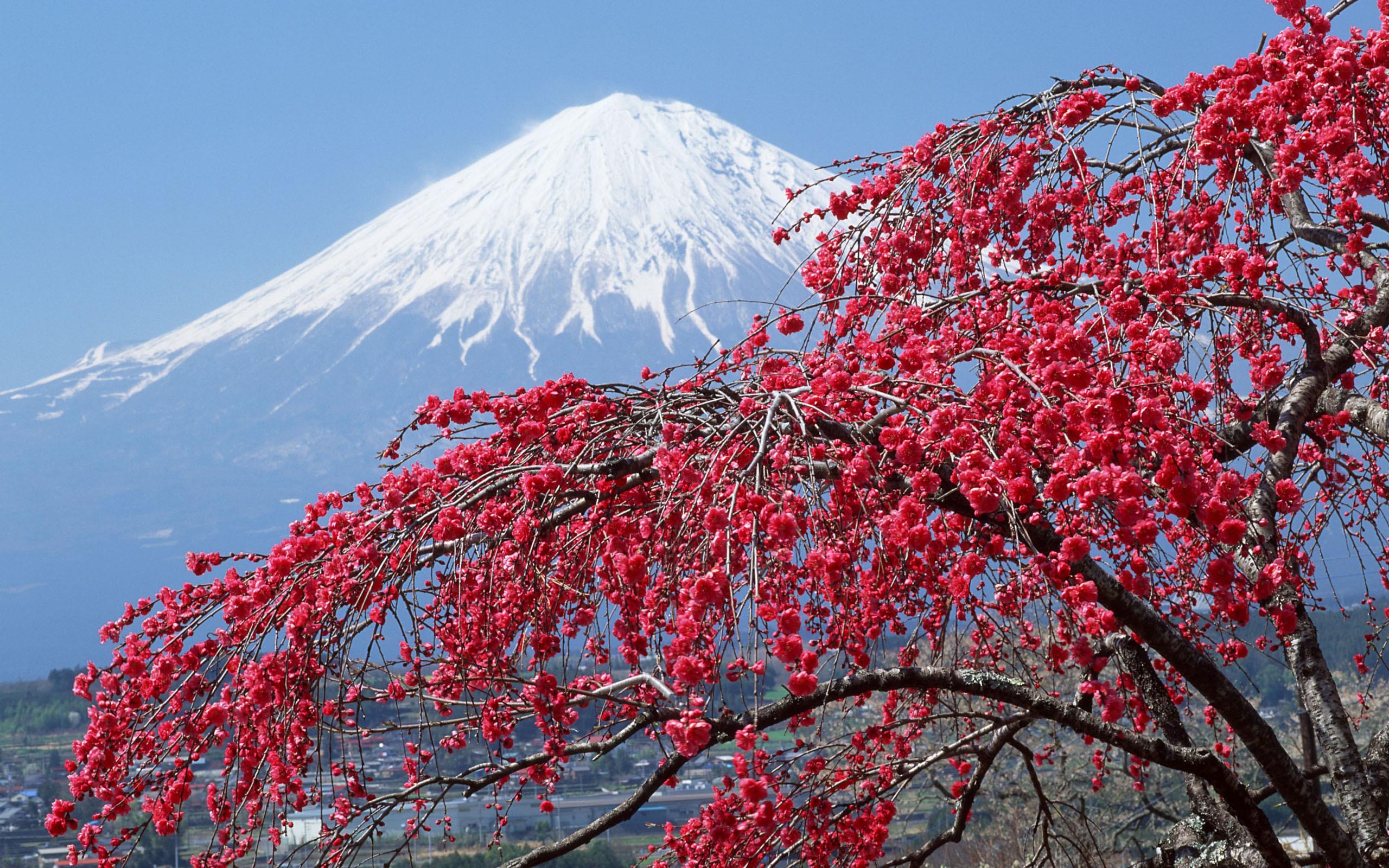 Mountain Mount Fuji Cherry Tree Peak Snow Japan - Cherry Tree Peak Snow Fuji