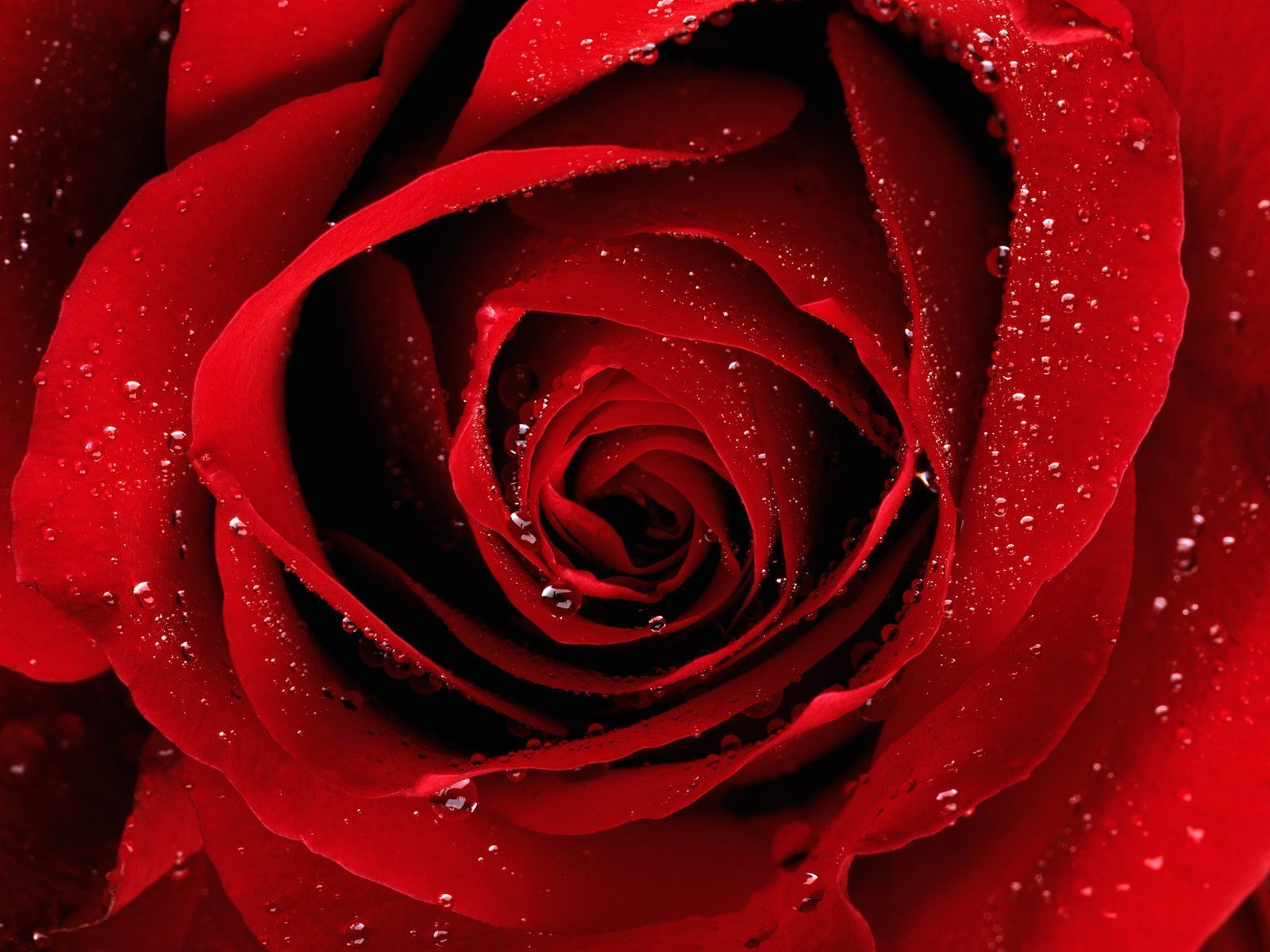 Red Rose Wallpaper - Red Rose Wallpaper
