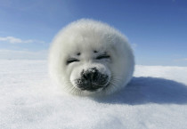 Annoy Seal Photos - Annoy Seal Photos