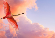 Beautiful Flying Flamingo - Beautiful Flying Flamingo