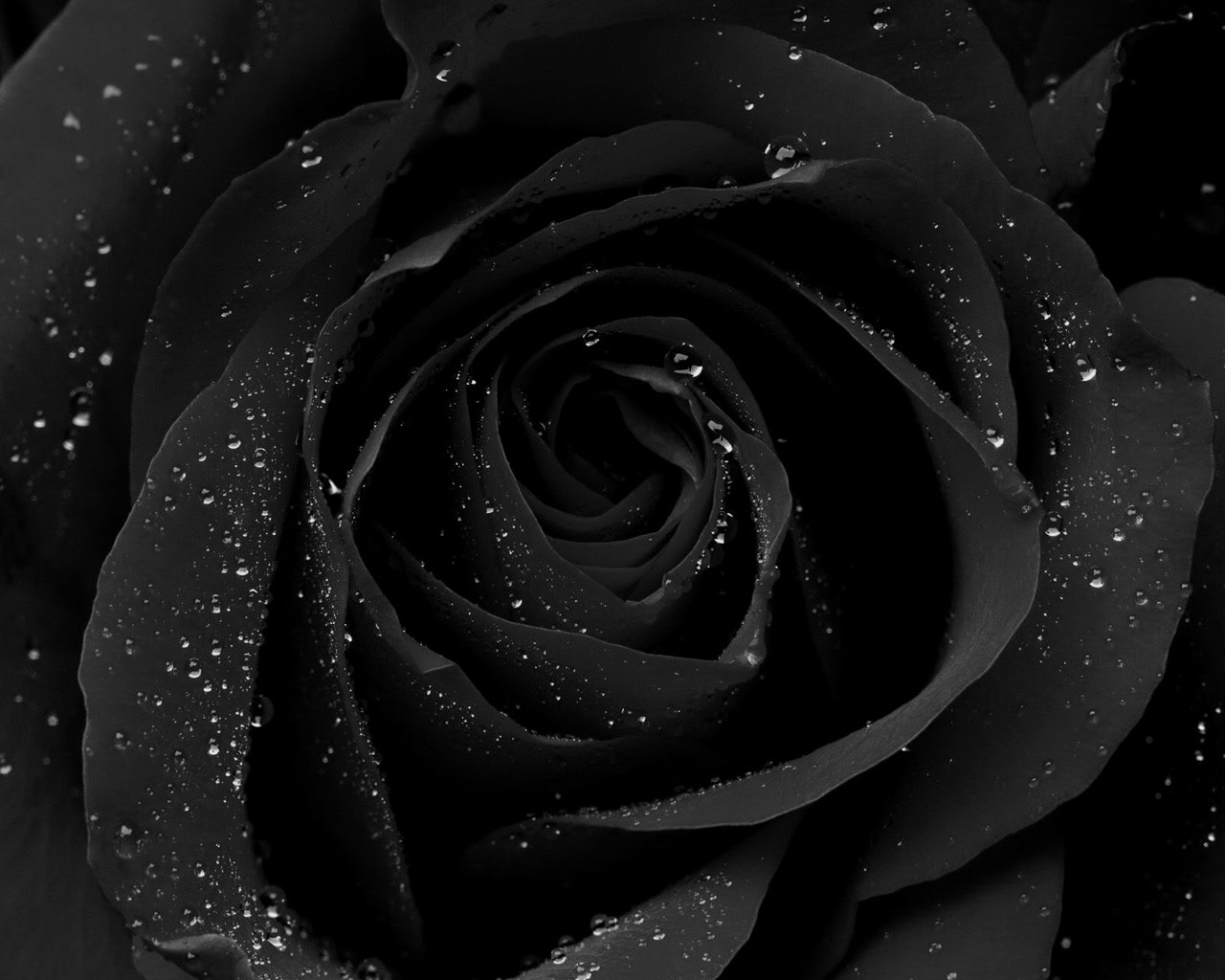 Black Rose Picture - Black Rose Picture