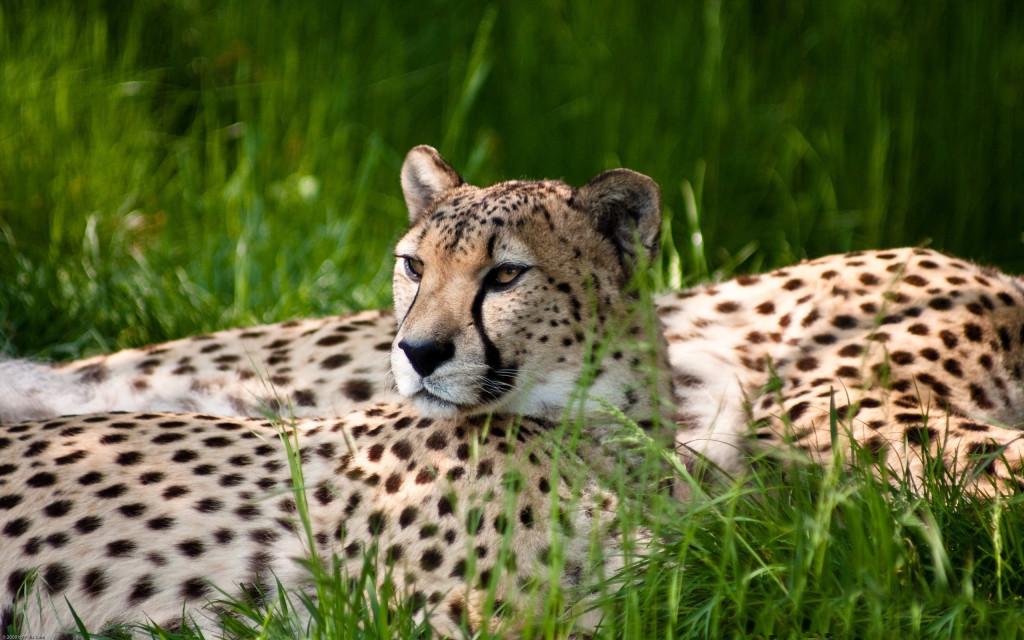 Cheetah Images - Cheetah Images