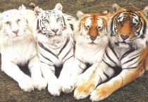 Cool Tigers Photos - Cool Tigers Photos