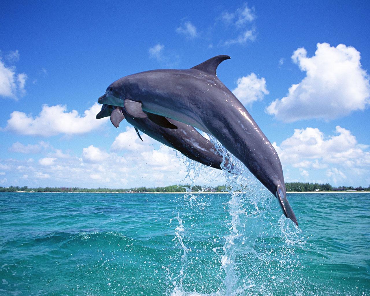 Dolphin Flight On The Sea - Dolphin Flight On The Sea
