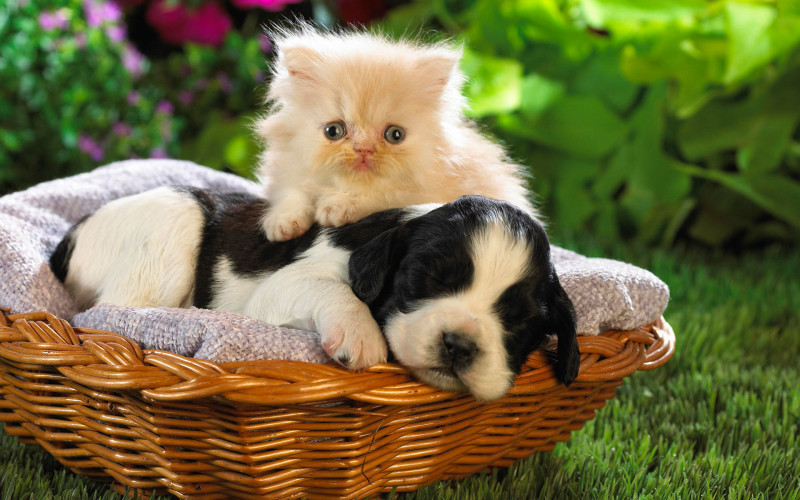 Kitten& Puppy Wallpaper - Kitten& Puppy Wallpaper