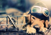 Pilot Dog Photos - Pilot Dog Photos
