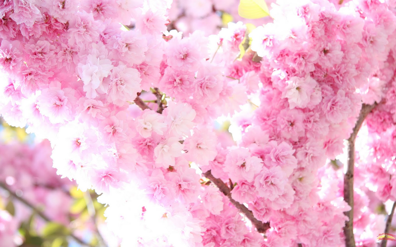 Pink Blossom Wallpaper - Pink Blossom Wallpaper