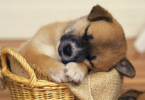 Puppy Sleeping Desktop Wallpaper - Puppy Sleeping Desktop Wallpaper
