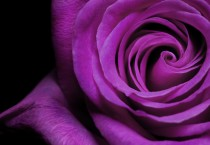 Purple Rose Picture - Purple Rose Picture