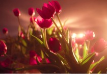 Red Tulips Rays Wallpaper - Red Tulips Rays Wallpaper