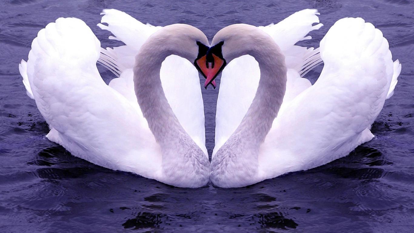 Swan Lake Couple Heart Shaped Photos - Swan Lake Couple Heart Shaped Photos