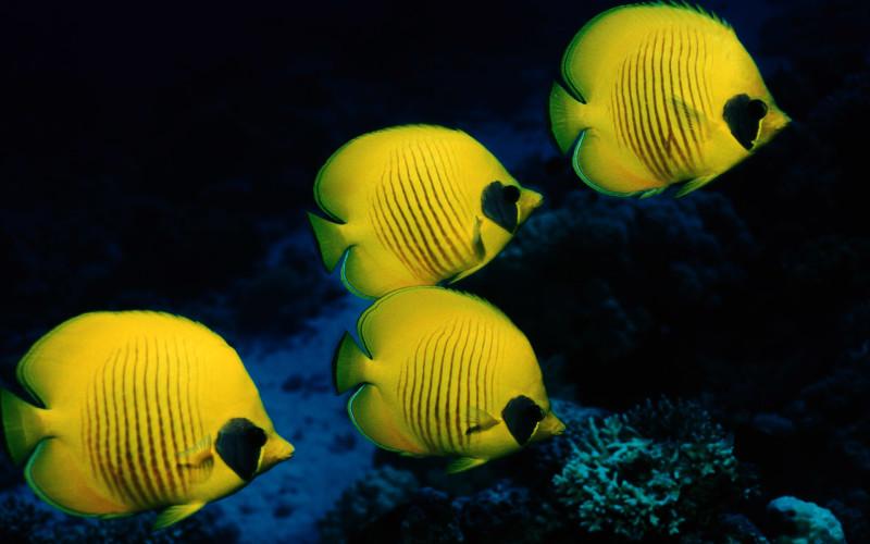 Beautiful Yellow Fish - Beautiful Yellow Fish