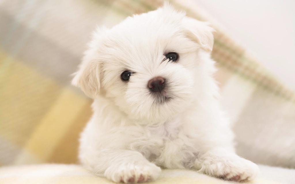 Cute White Puppy - Cute White Puppy