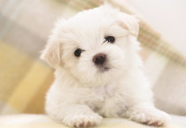 Cute White Puppy - Cute White Puppy