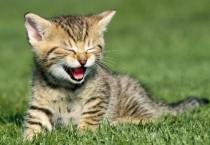 Kitten Laughing Pictures - Kitten Laughing Pictures