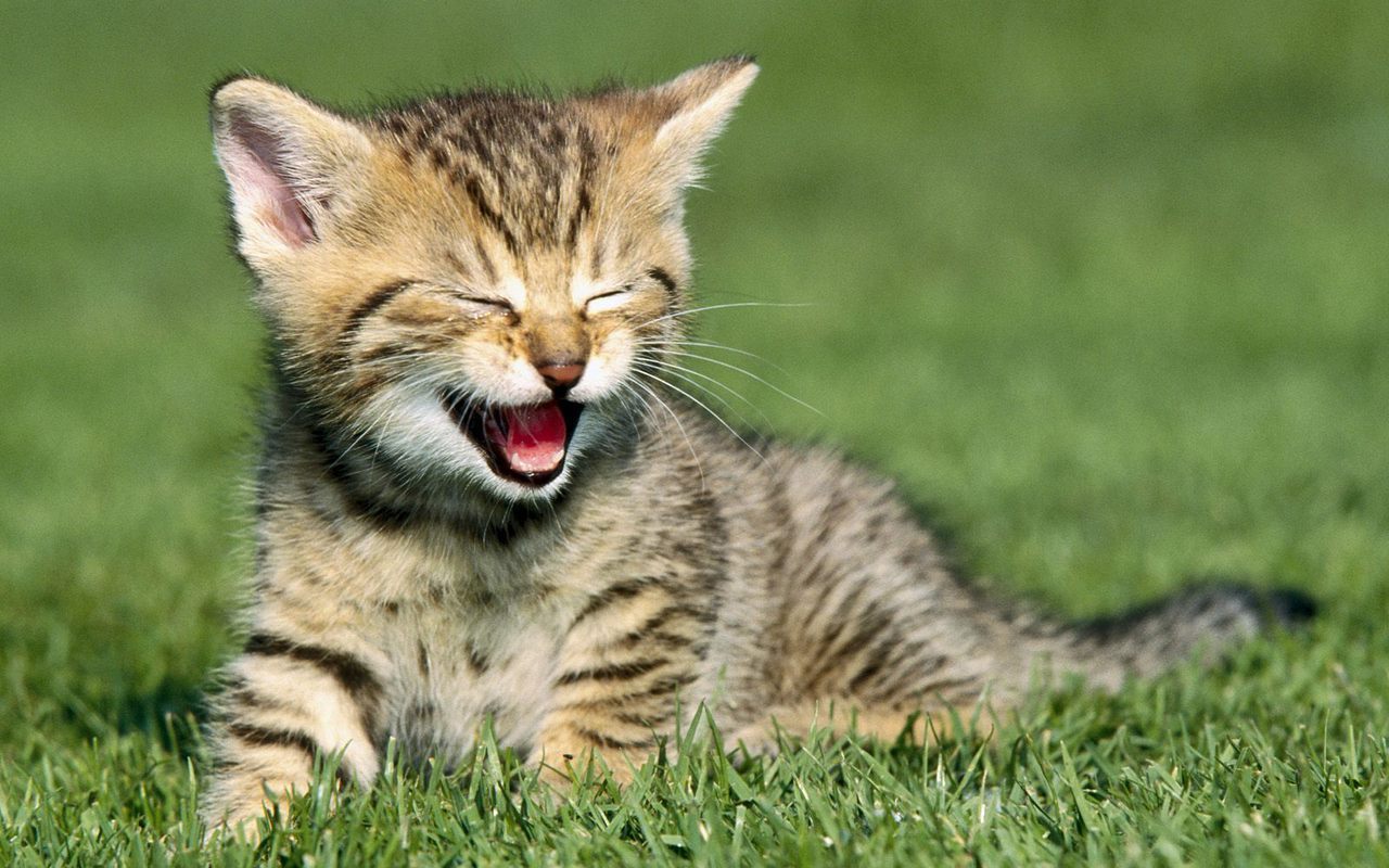 Kitten Laughing Pictures - Kitten Laughing Pictures