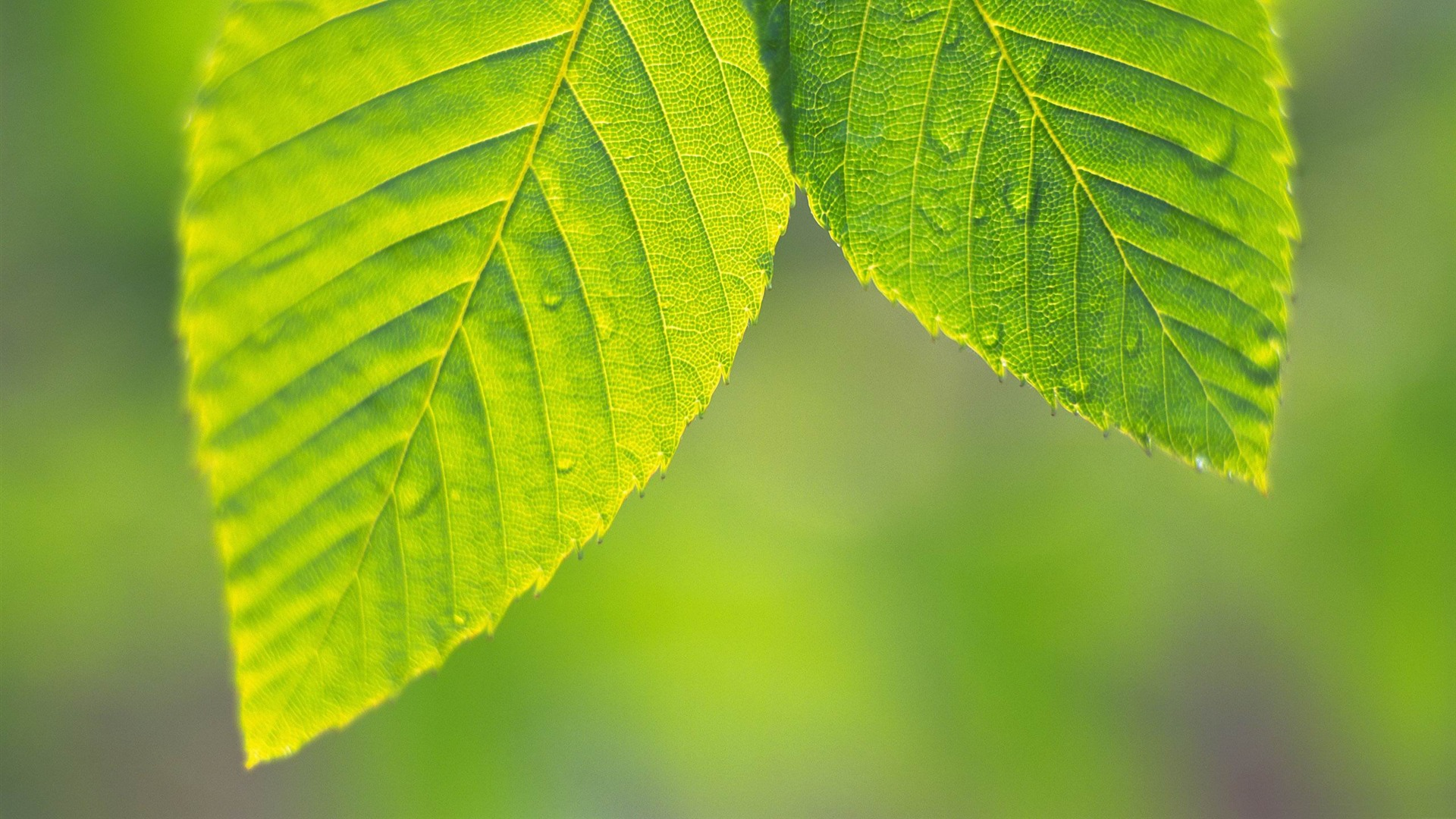 leaves natural widescreen nature leaf hojas imagenes hd
