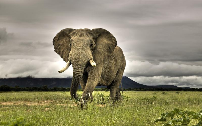African Elephant Wild - African Elephant Wild