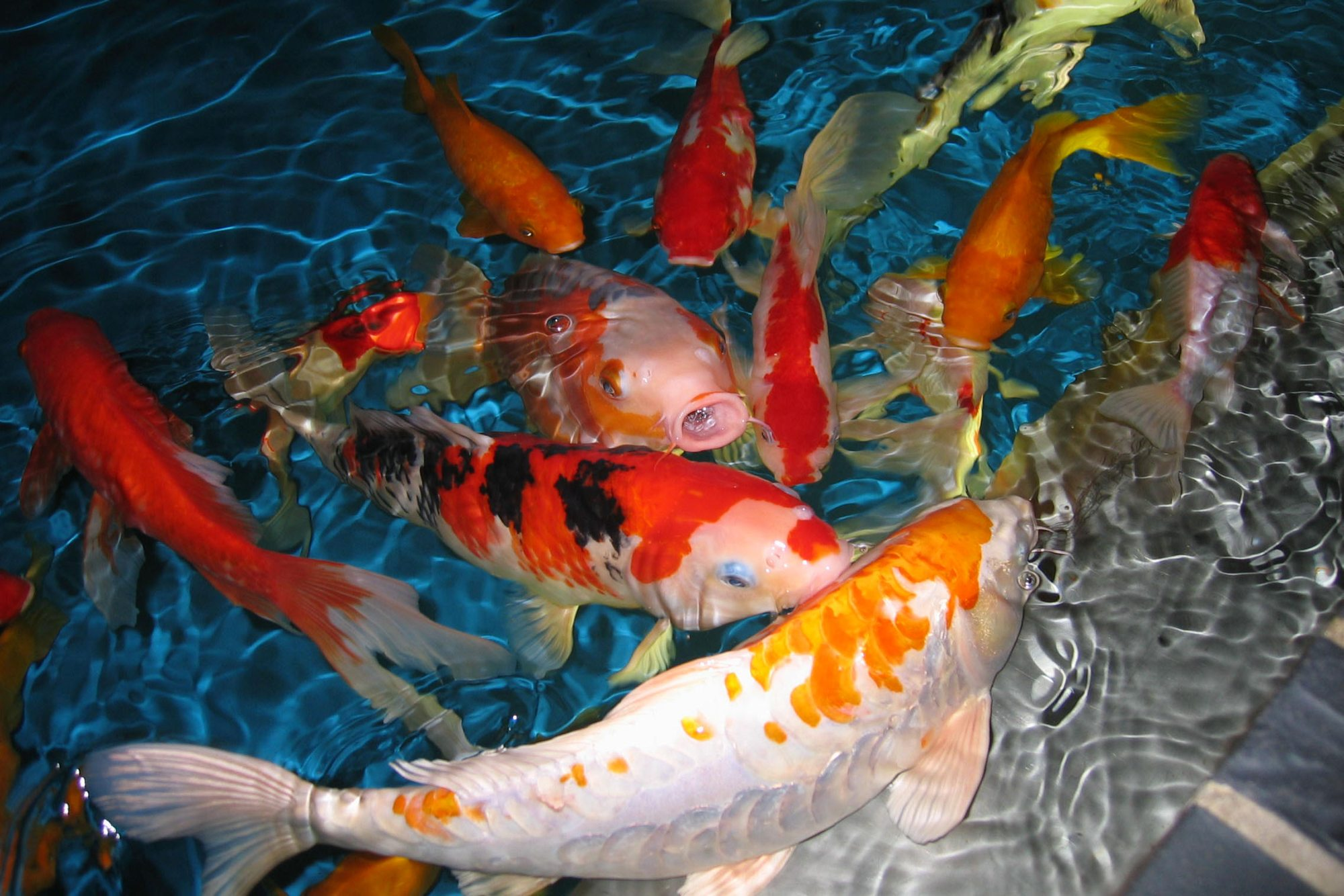Beautiful Koi Fish Dancing - Beautiful Koi Fish Dancing