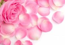 Fresh Beautiful Pink Rose - Fresh Beautiful Pink Rose