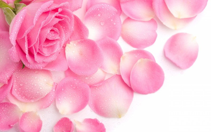 Fresh Beautiful Pink Rose - Fresh Beautiful Pink Rose