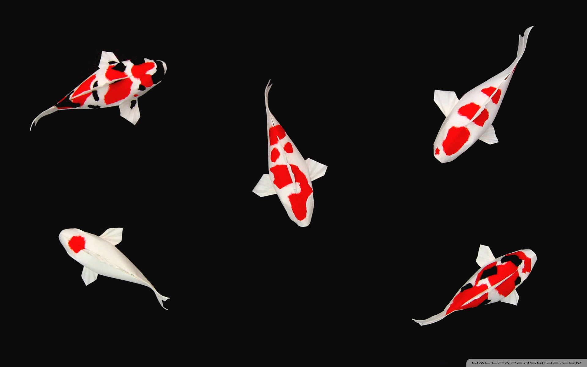 Koi fish desktop beautiful for Koi fish size