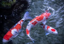 Koi On The Pool - Koi On The Pool