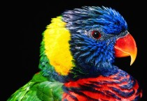 Colourful Lorikeet Birds - Colourful Lorikeet Birds