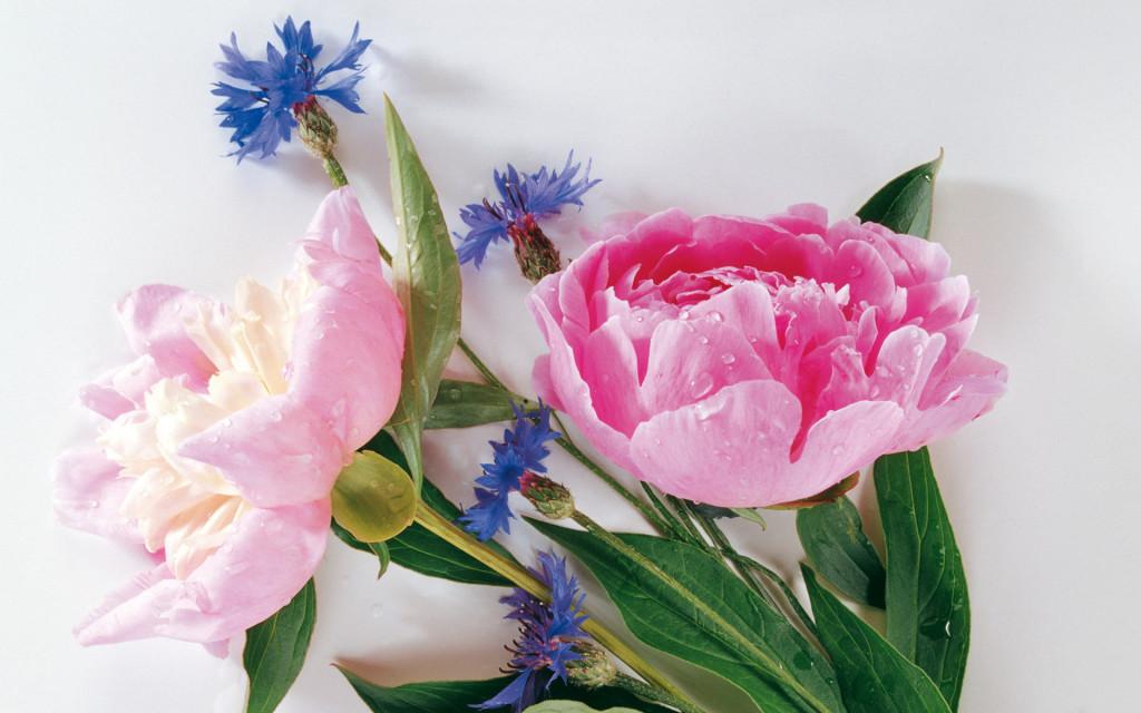 Fresh Pink Carnation - Fresh Pink Carnation