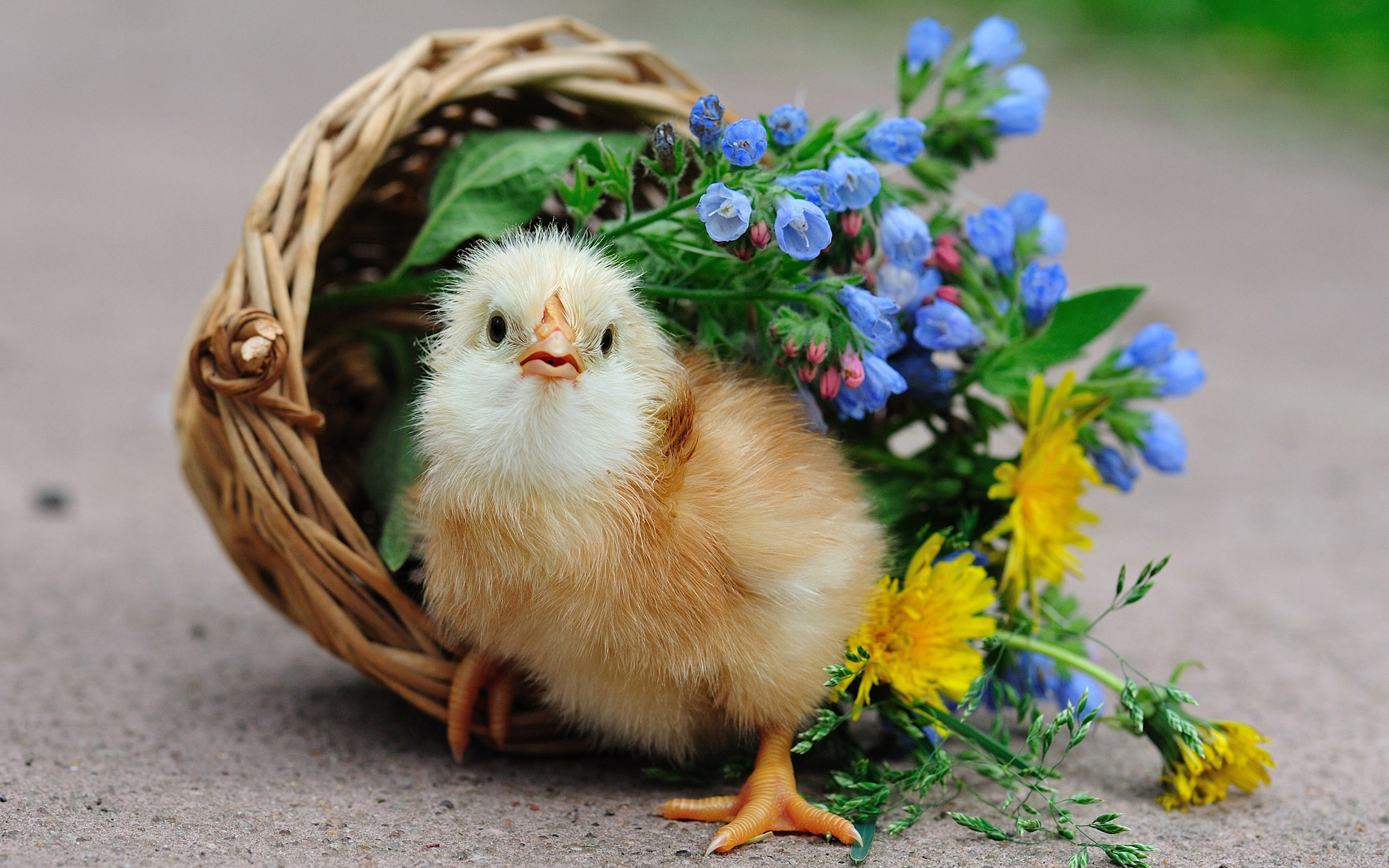 Little Chicken Cutes - Little Chicken Cutes