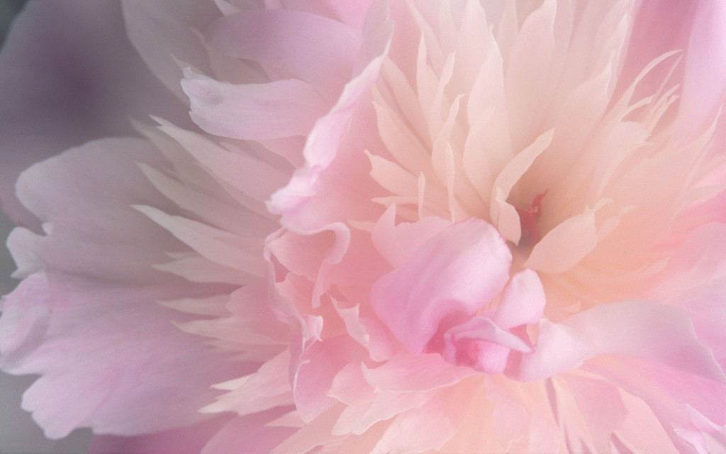 Smoothies Peony Widescreen - Smoothies Peony Widescreen