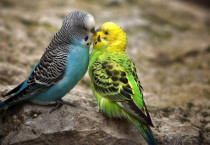 Sweet Parkeet Couple - Sweet Parkeet Couple