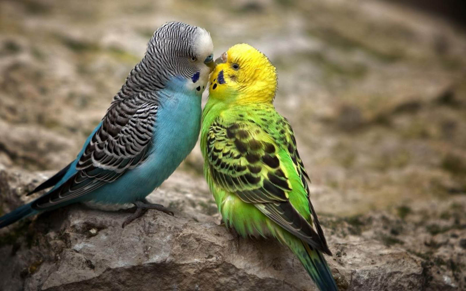 Sweet Parkeet Couple - Sweet Parkeet Couple