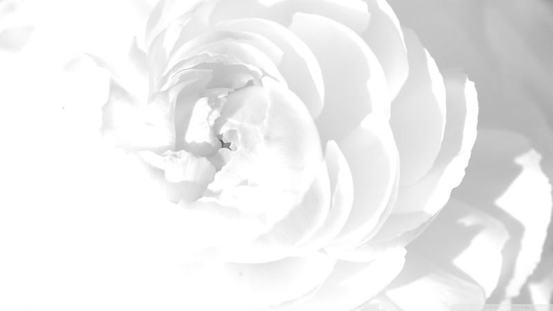 White Peony Lovely - White Peony Lovely
