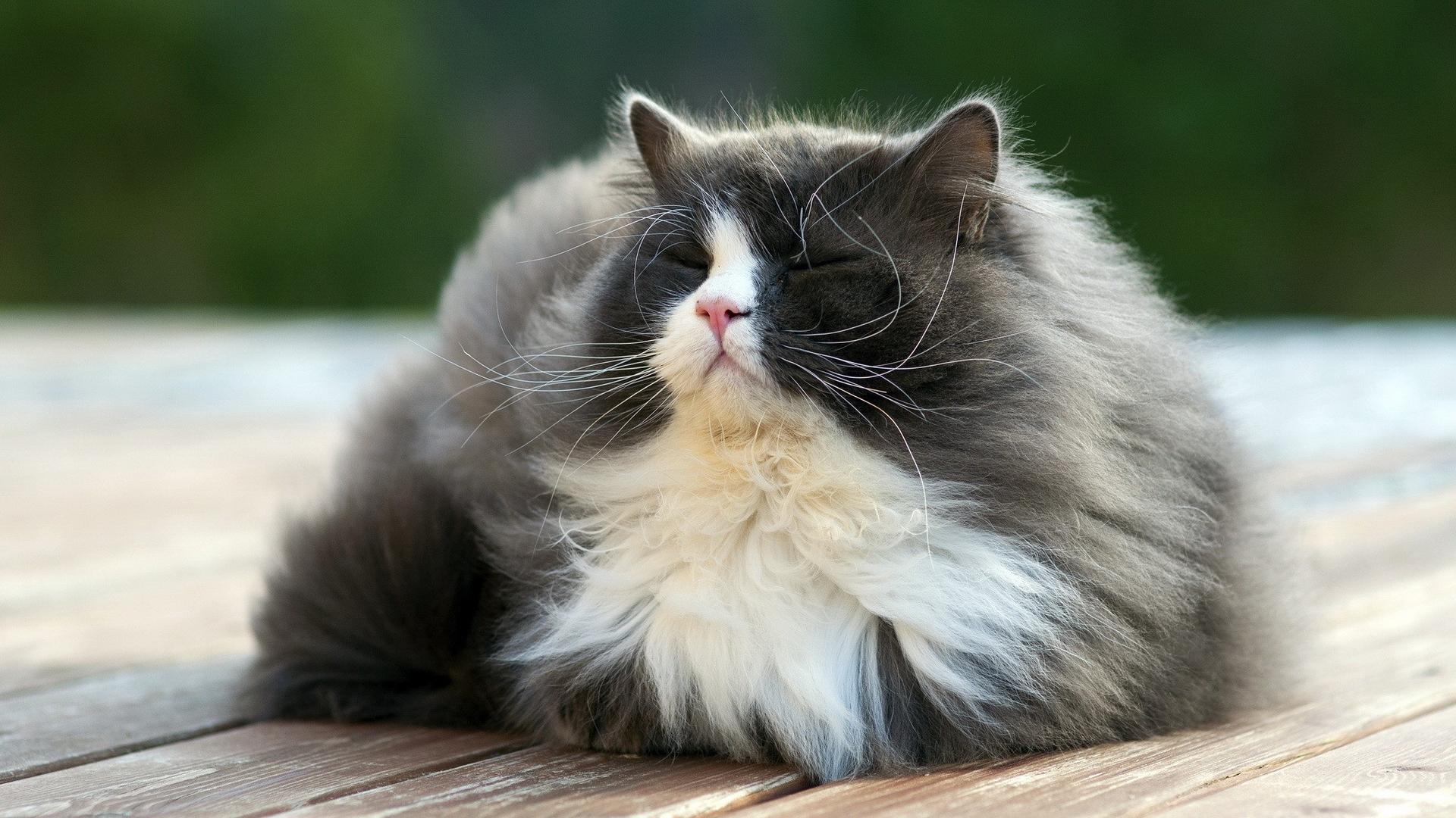 Fat Fluffy Cat Small Eyes