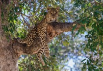 Leopard in a Tree Staring at You