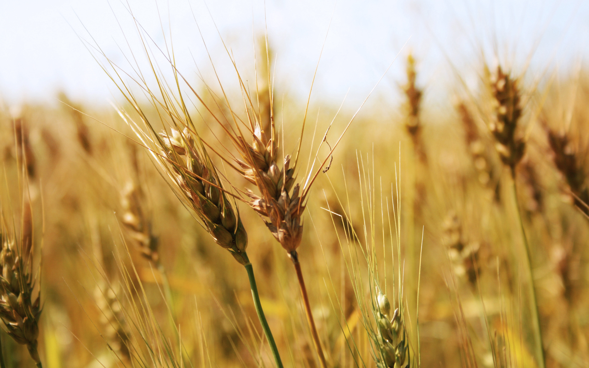 Wheat Field Foods