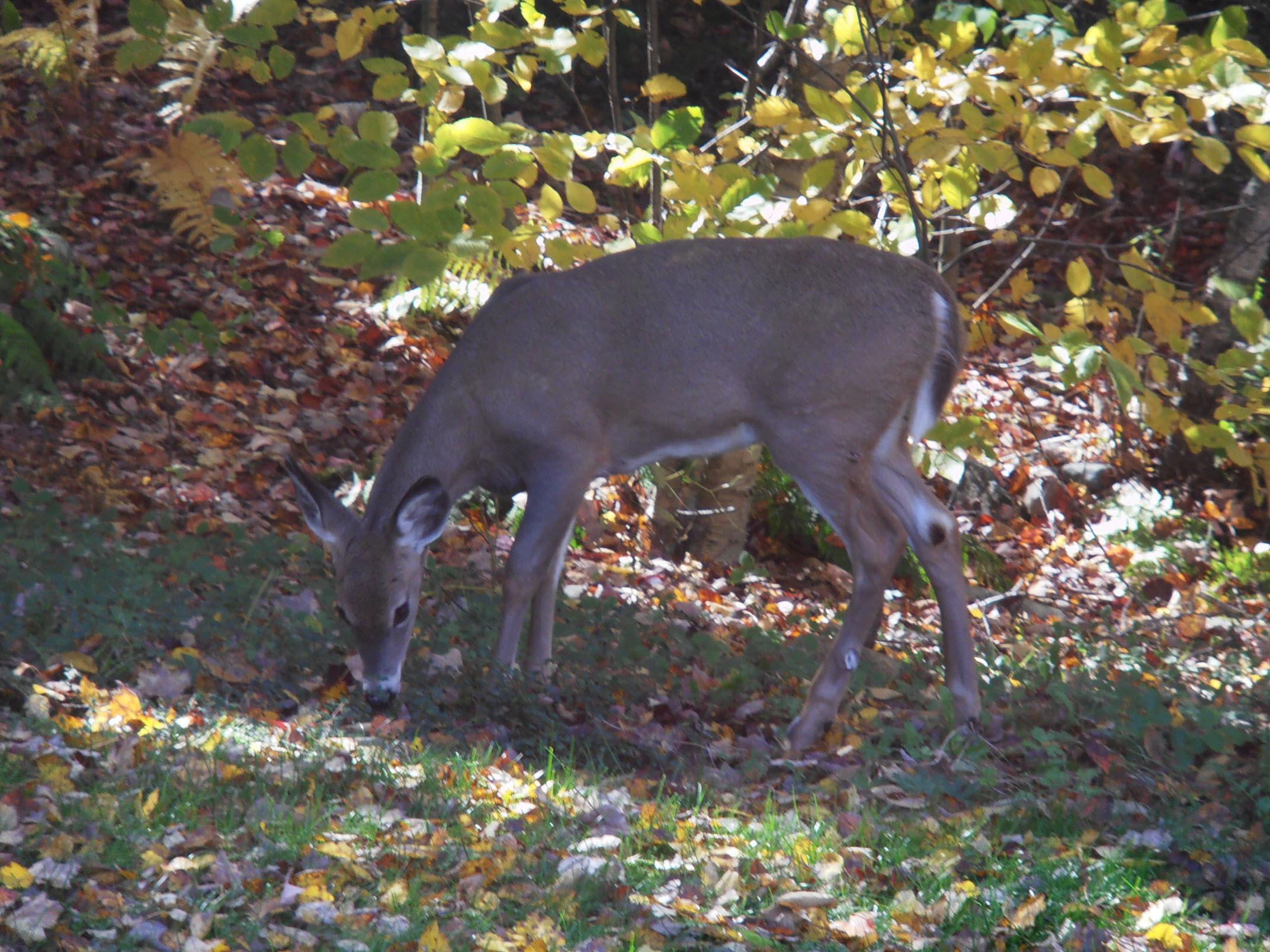 Wild Deer In Backyard Animal