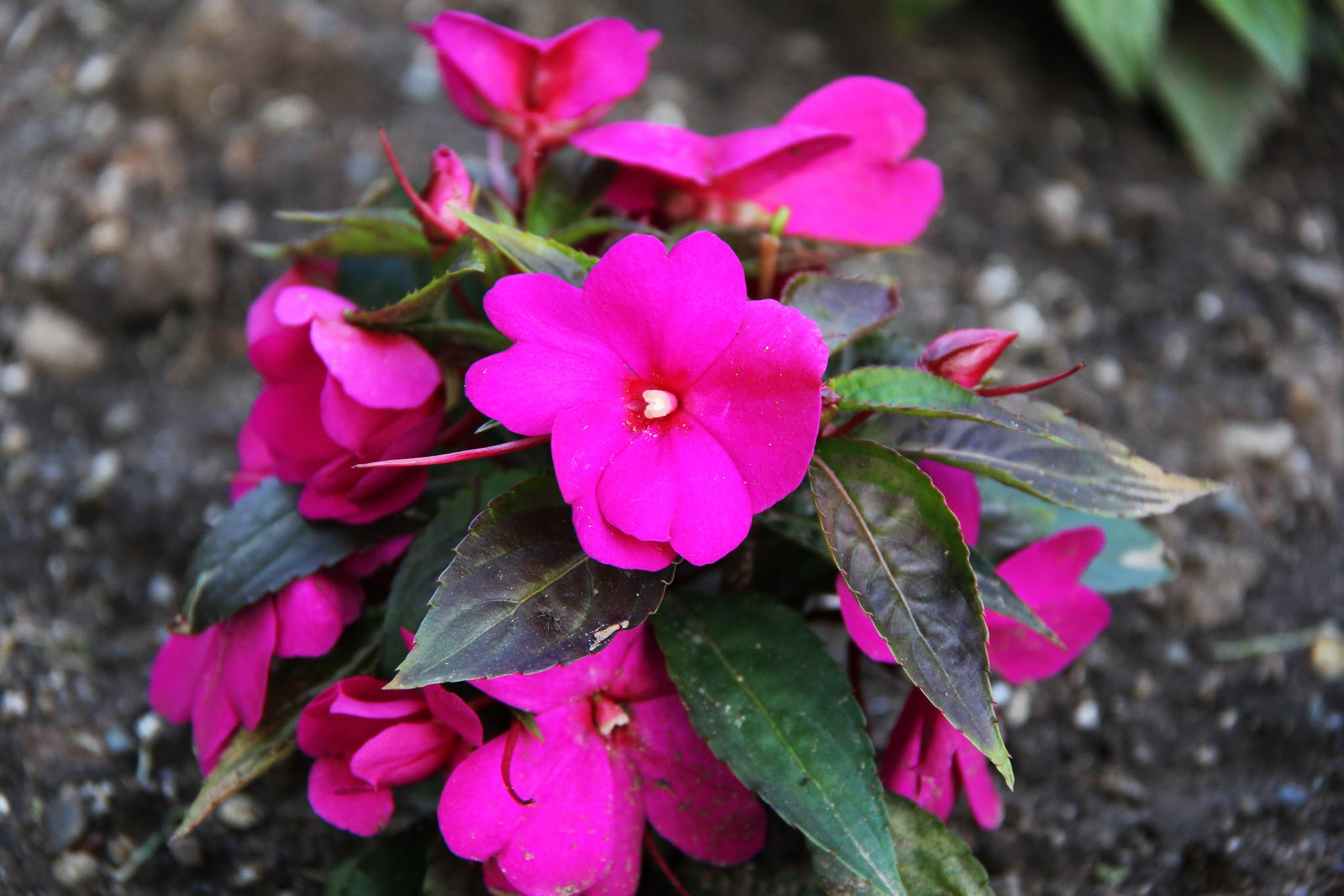 New guinea impatiens flower flower New guinea impatiens