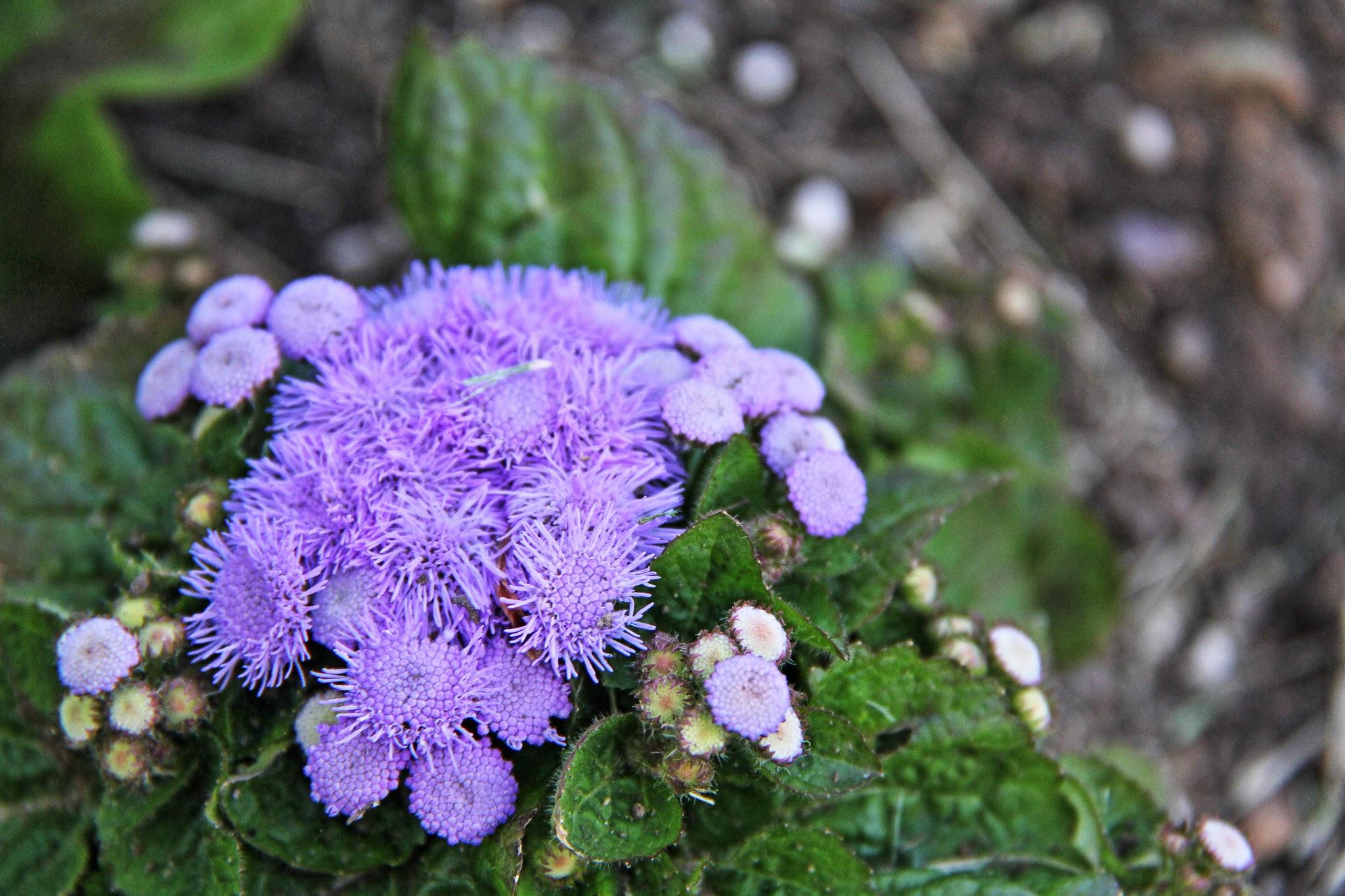 Blue Anemone Flowers | FLOWER
