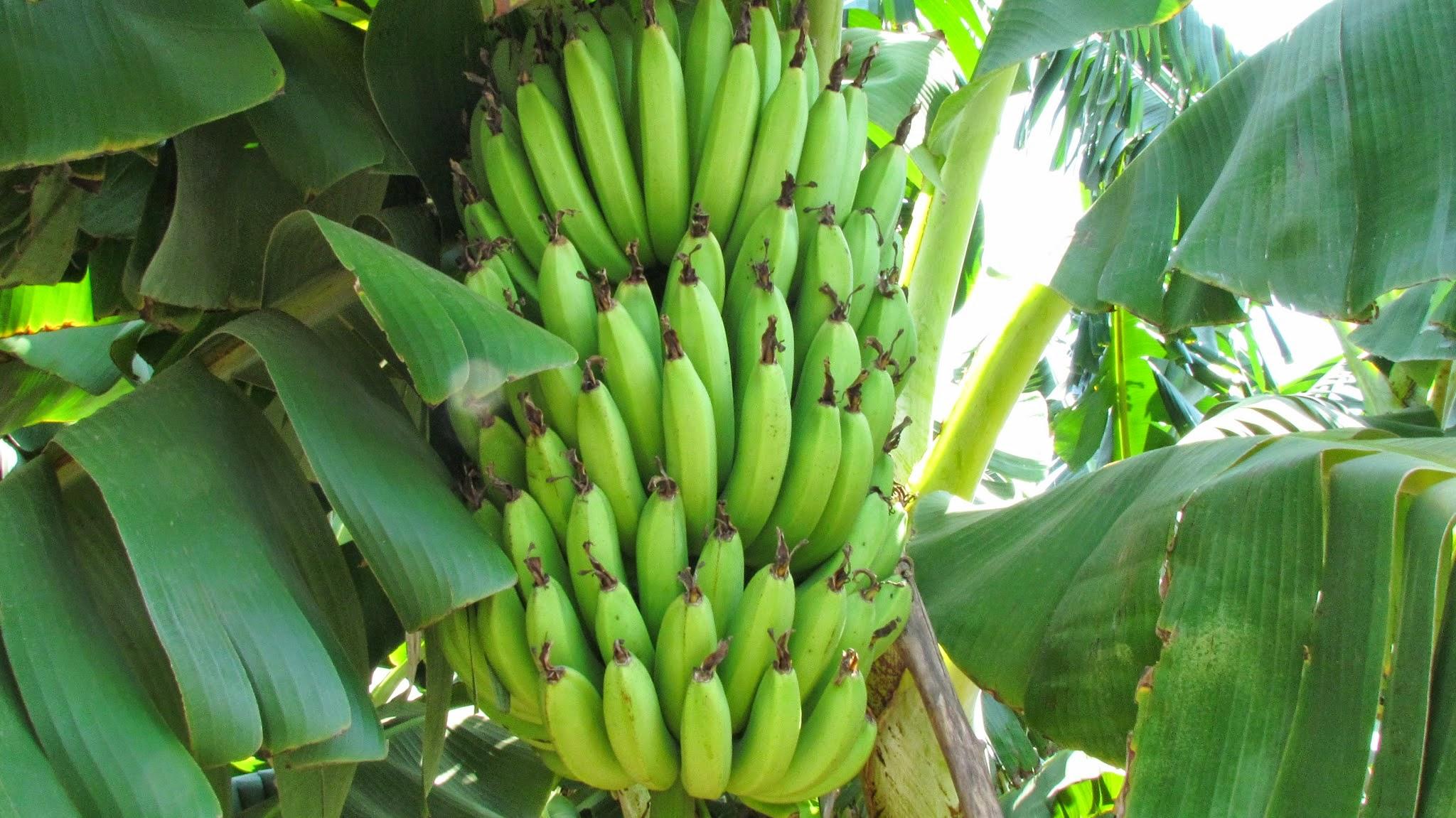 banana tree, india | fruits