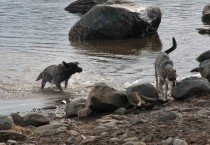 Dogs Getting Out of The Water at Lake