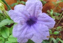 Light Purple Flower from India