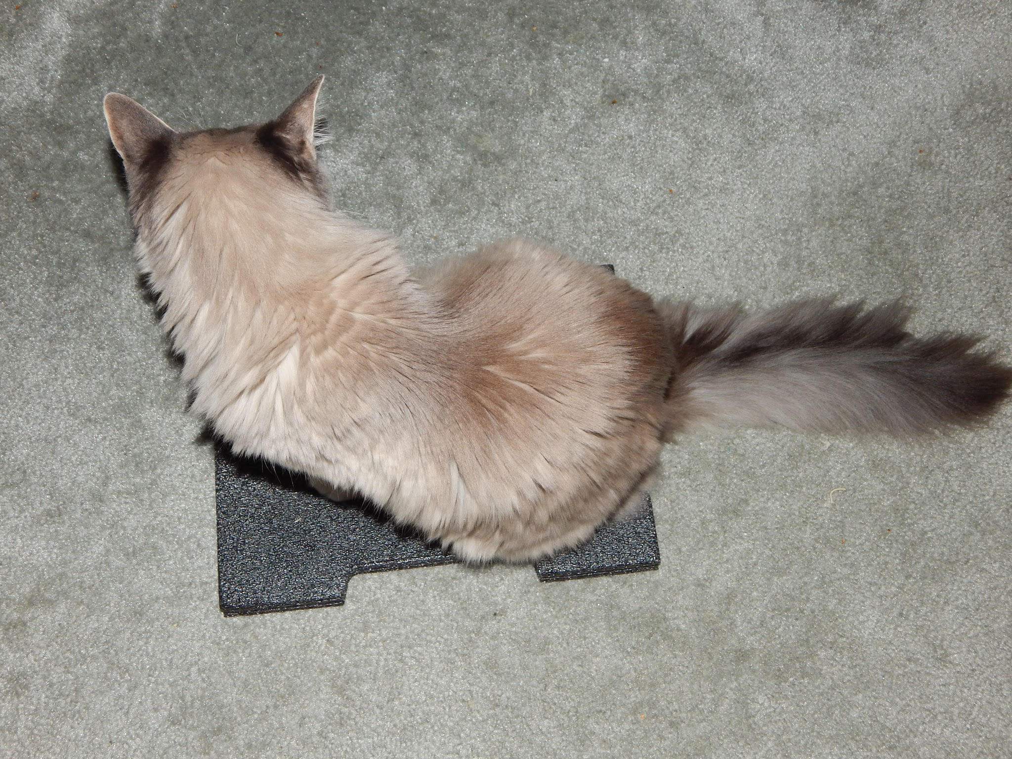 Cat scratching carpet after eating