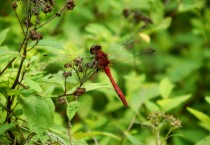 Unusual Red DragonFly